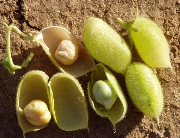 Chickpea_pods